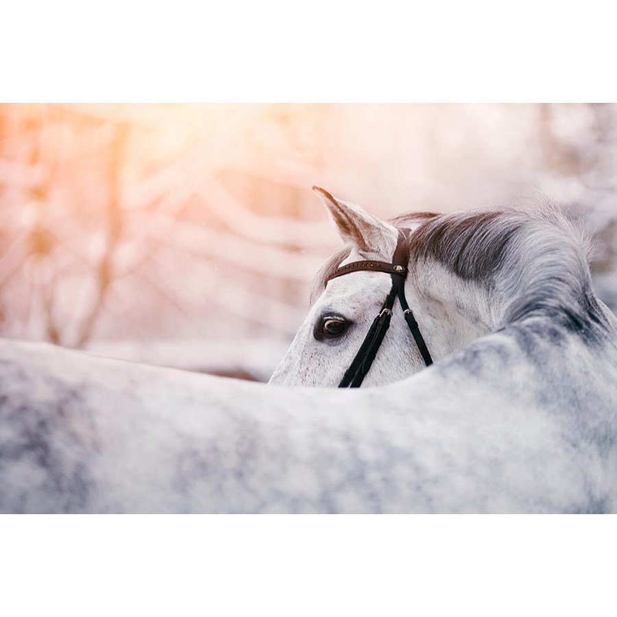 Portrait of a gray sports horse in the winter at sunset. Portrait of a sports stallion. Thoroughbred horse. Beautiful horse.  Foto: Azaliya