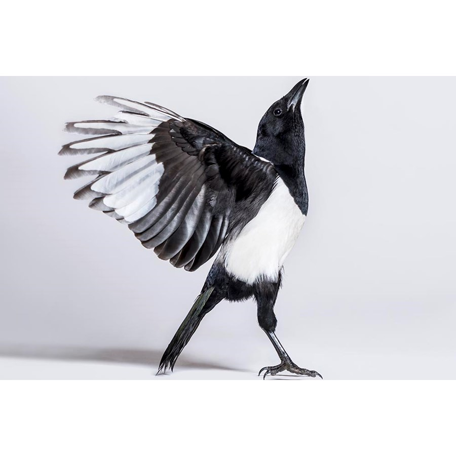 Common Magpie, Pica pica, spreading wings to take off, in front of white background  Foto: GlobalP